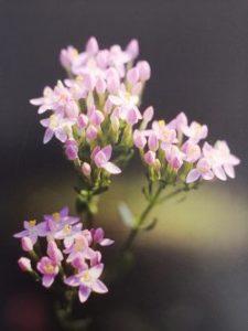 Centaury è uno dei fiori di Bach, vengono descritti da Emanuela Re alcuni utilizzi con i bambini. Consulenza a Torino e online