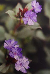 Cerato è uno dei fiori di Bach, vengono descritti da Emanuela Re alcuni utilizzi con i bambini. Consulenza a Torino e online