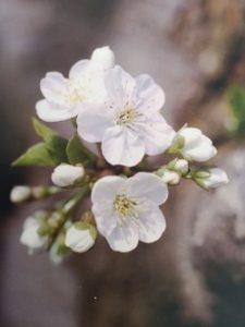 Cherry Plum è uno dei fiori di Bach, vengono descritti da Emanuela Re alcuni utilizzi con i bambini. Consulenza a Torino e online