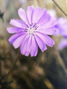 Chicory è uno dei fiori di Bach, vengono descritti da Emanuela Re  alcuni utilizzi con i bambini. Consulenza a Torino e online