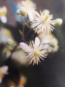 Clematis è uno dei fiori di Bach, vengono descritti da Emanuela Re  alcuni utilizzi con i bambini. Consulenza a Torino e online