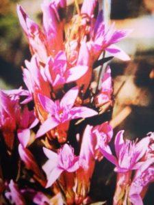 Gentian è uno dei fiori di Bach, vengono descritti da Emanuela Re  alcuni utilizzi con i bambini. Consulenza a Torino e online
