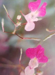 Impatiens è uno dei fiori di Bach, vengono descritti da Emanuela Re  alcuni utilizzi con i bambini. Consulenza a Torino e online