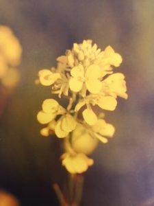 Mustard è uno dei fiori di Bach, vengono descritti da Emanuela Re  alcuni utilizzi con i bambini. Consulenza a Torino e online