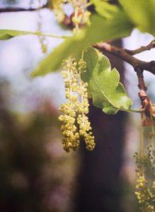 Oak è uno dei fiori di Bach, vengono descritti da Emanuela Re  alcuni utilizzi con i bambini. Consulenza a Torino e online