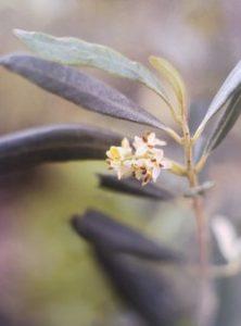 Olive è uno dei fiori di Bach, vengono descritti da Emanuela Re  alcuni utilizzi con i bambini. Consulenza a Torino e online