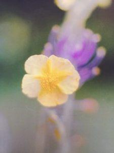 Rock Rose è uno dei fiori di Bach, vengono descritti da Emanuela Re  alcuni utilizzi con i bambini. Consulenza a Torino e online