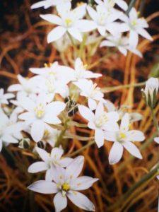 Star of Bethlehem è uno dei fiori di Bach, vengono descritti da Emanuela Re  alcuni utilizzi con i bambini. Consulenza a Torino e online