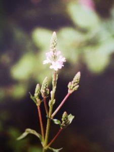 Vervain è uno dei fiori di Bach, vengono descritti da Emanuela Re  alcuni utilizzi con i bambini. Consulenza a Torino e online