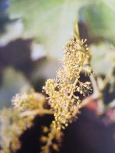 Vine è uno dei fiori di Bach, vengono descritti da Emanuela Re  alcuni utilizzi con i bambini. Consulenza a Torino e online