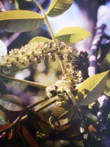 Walnut è uno dei fiori di Bach, vengono descritti da Emanuela Re  alcuni utilizzi con i bambini. Consulenza a Torino e online
