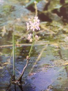 Water Violet è uno dei fiori di Bach, vengono descritti da Emanuela Re  alcuni utilizzi con i bambini. Consulenza a Torino e online