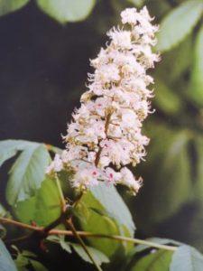 White Chestnut è uno dei fiori di Bach, vengono descritti da Emanuela Re  alcuni utilizzi con i bambini. Consulenza a Torino e online
